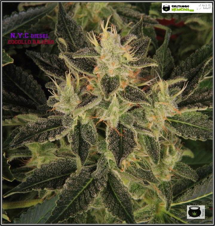 42- Variedad de marihuana NYC diesel, 52 días a 12/12 3