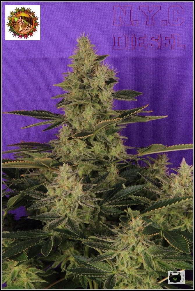 42- Variedad de marihuana NYC diesel, 52 días a 12/12 4