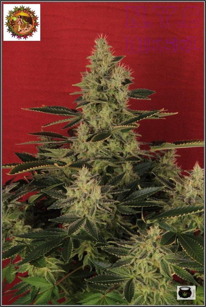 42- Variedad de marihuana NYC diesel, 52 días a 12/12 5