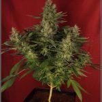 47- Variedad de marihuana NYC Diesel, cortada con 59 días a 12/12