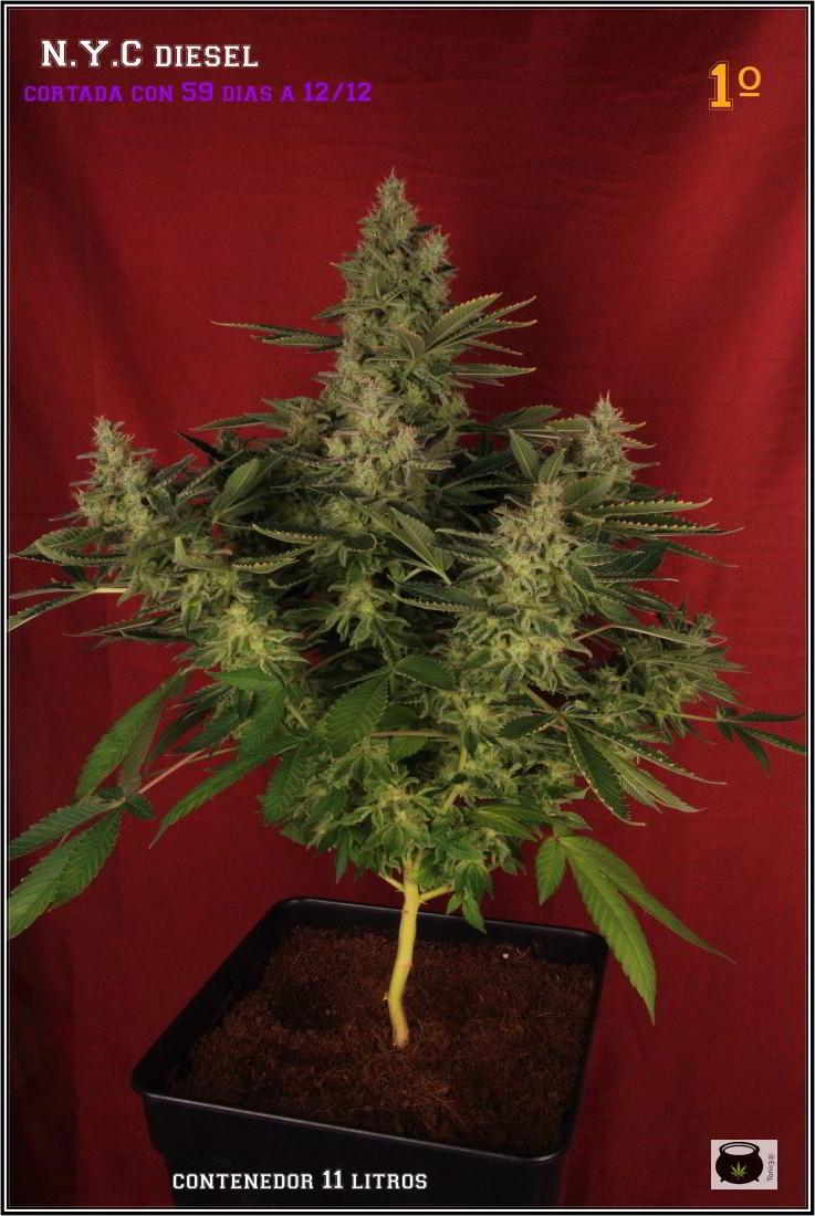 47- Variedad de marihuana NYC Diesel, cortada con 59 días a 12/12 1