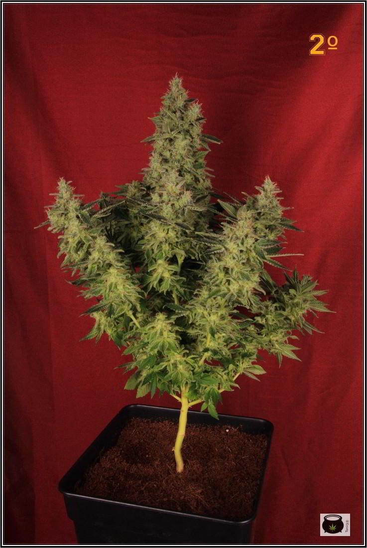 47- Variedad de marihuana NYC Diesel, cortada con 59 días a 12/12 2