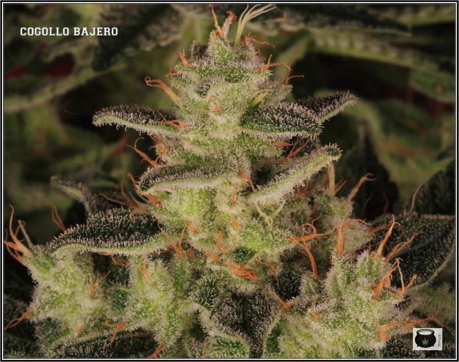 47- Variedad de marihuana NYC Diesel, cortada con 59 días a 12/12 3