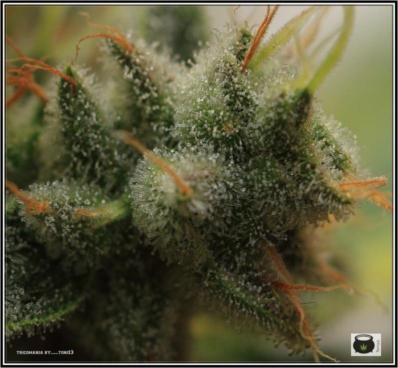 47- Variedad de marihuana NYC Diesel, cortada con 59 días a 12/12 5