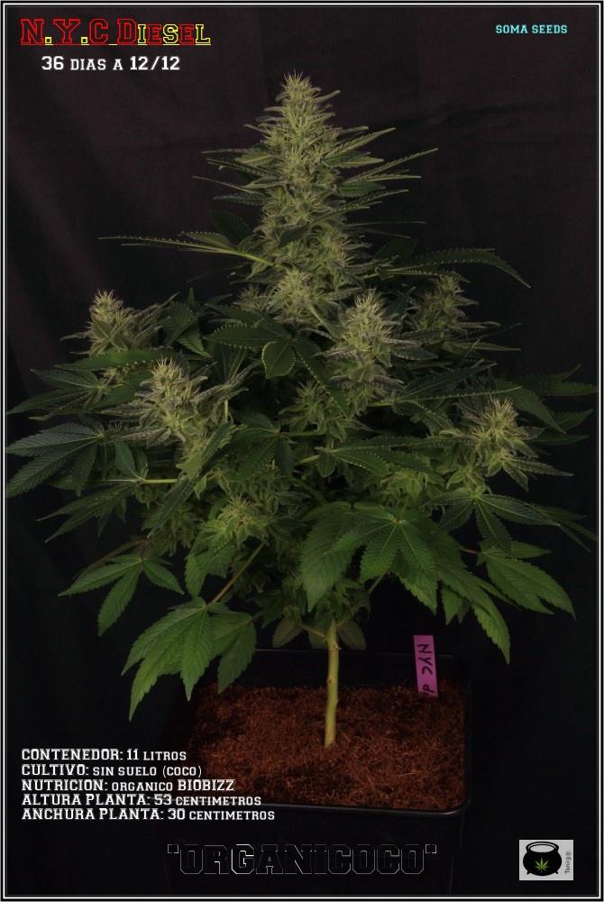 31- Variedad de marihuana NYC Diesel, 36 días a 12/12 1