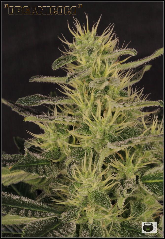 31- Variedad de marihuana NYC Diesel, 36 días a 12/12 3