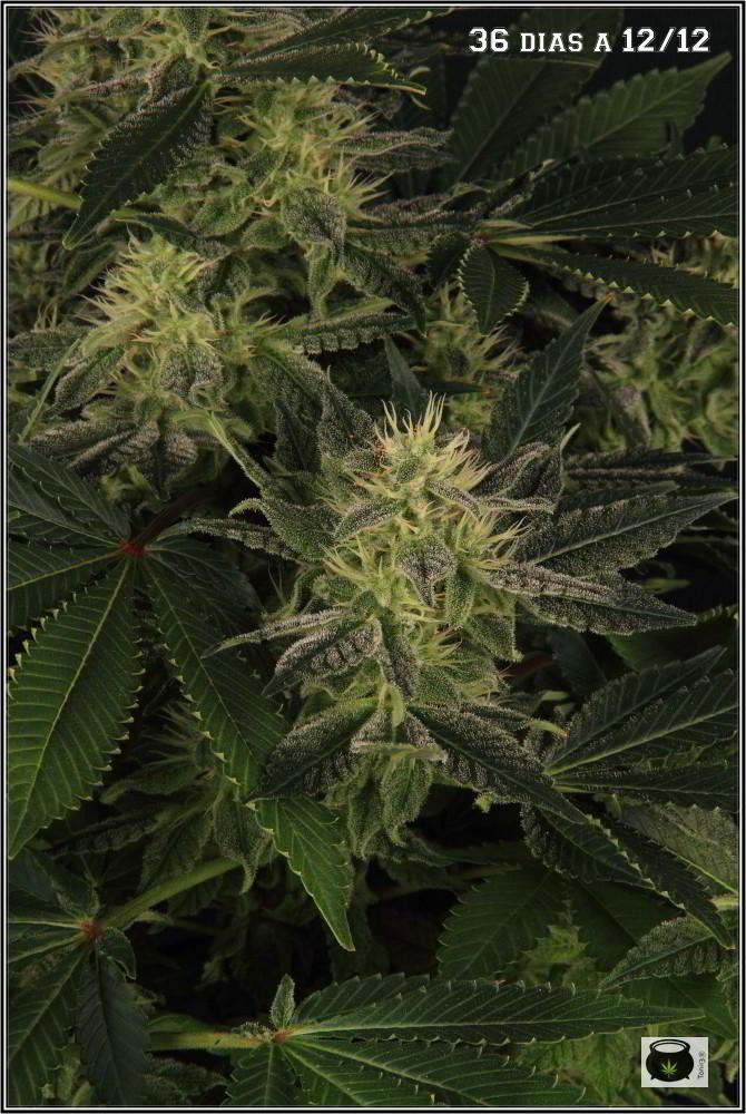31- Variedad de marihuana NYC Diesel, 36 días a 12/12 4