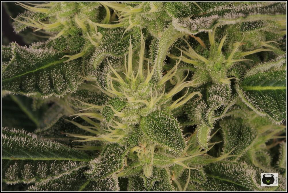 31- Variedad de marihuana NYC Diesel, 36 días a 12/12 7