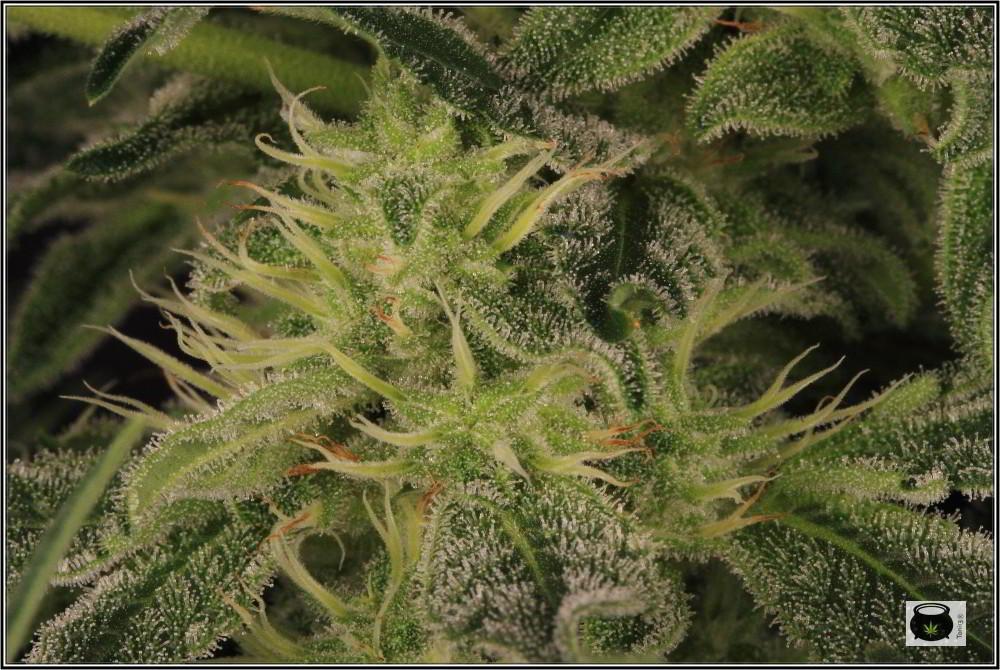 31- Variedad de marihuana NYC Diesel, 36 días a 12/12 8