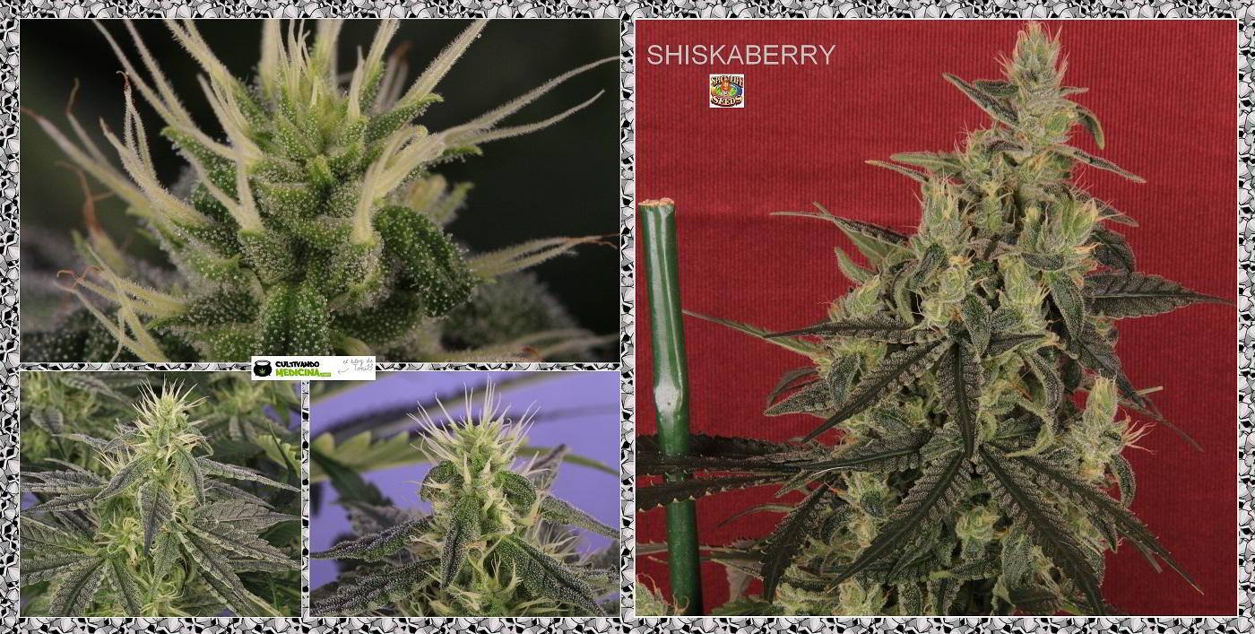 planta de marihuana Shiskaberry