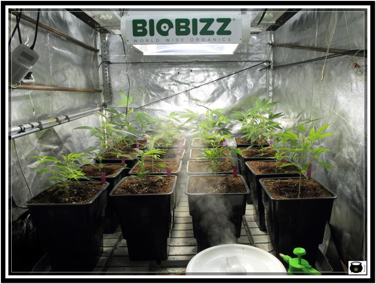 cultivo indoor de marihuana con macetas potenciadores de raíces 1