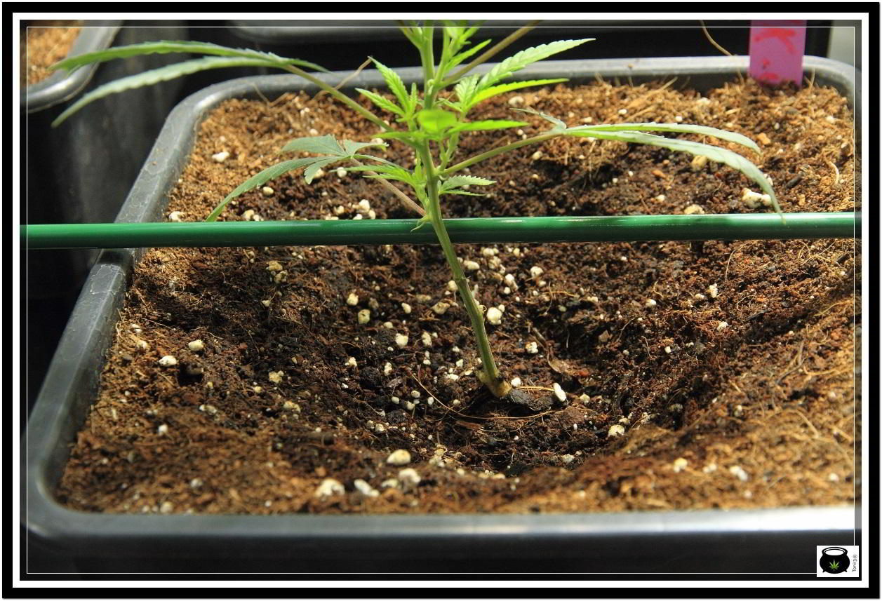 cultivo indoor de marihuana con macetas potenciadores de raíces 2