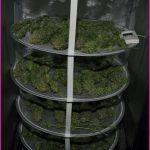 Secadero de marihuana, elemento indispensable en clima húmedo