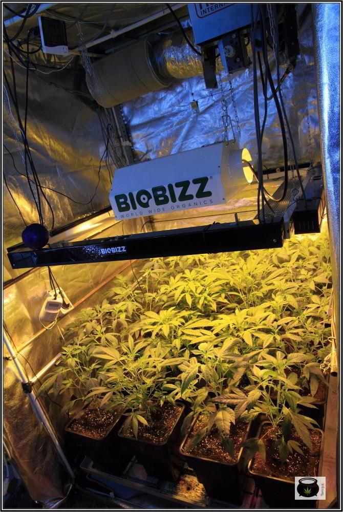 4- 19-12-2013 7 días a 12/12 supercropping a diestro y siniestro 3