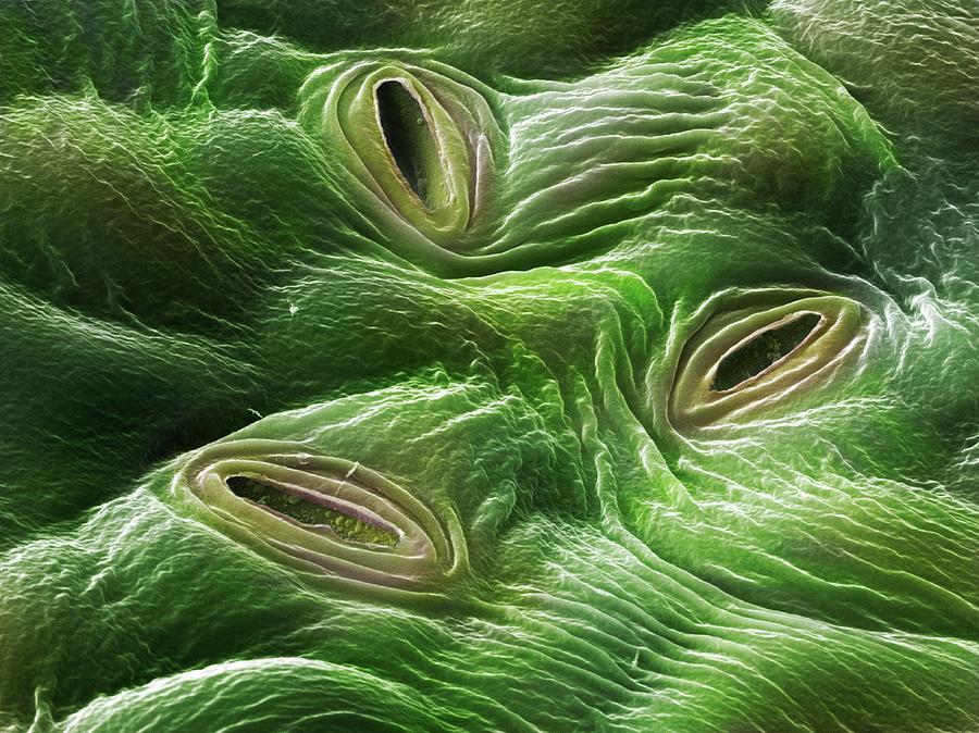 estomas de hojas de plantas de marihuana