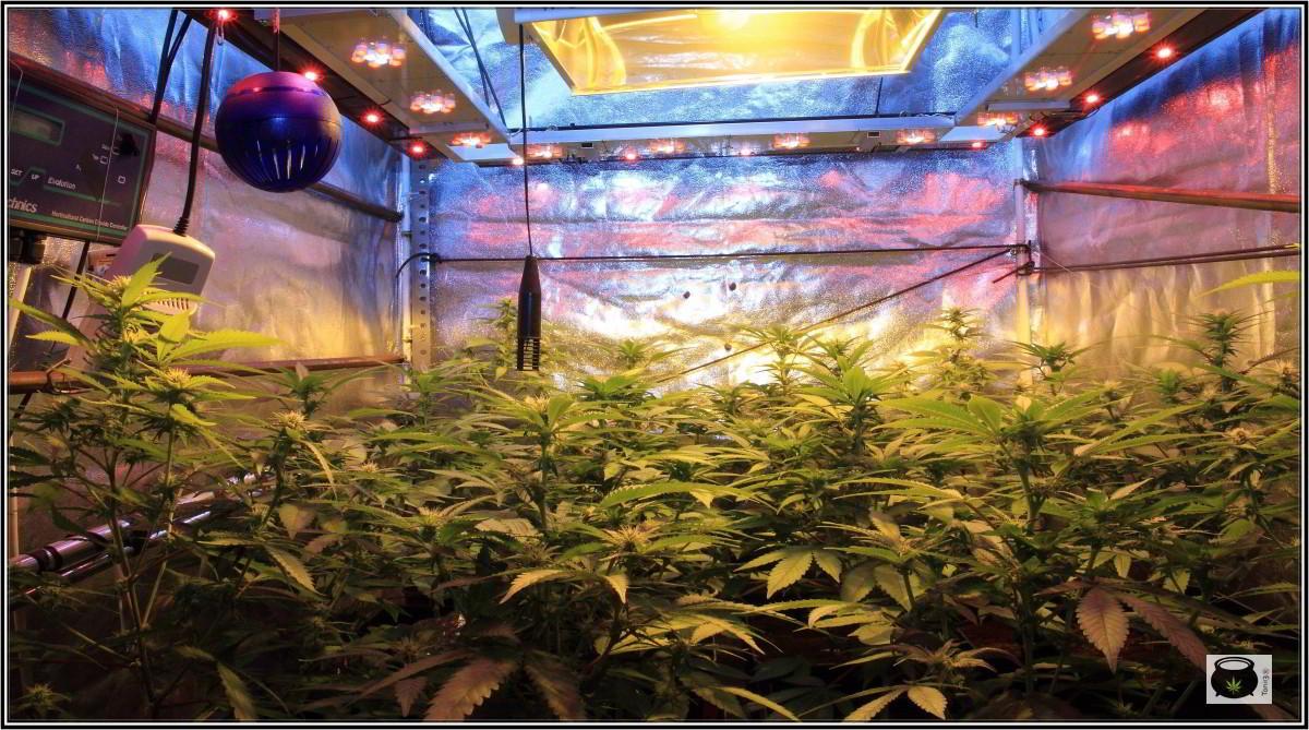 Ciclo continuo en cultivos de marihuana de interior 2