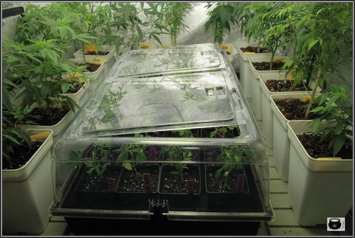 Propagador en invernadero de cultivo de marihuana 4