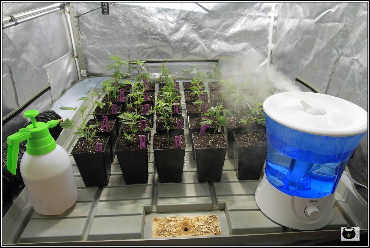 armario de interior con plantas de marihuana y humidificador
