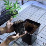 Transplantar – Definición en plantas de marihuana