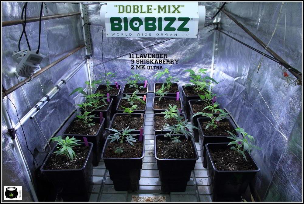 1- 2-12-2013 Cultivo de marihuana con dos suelos Doble-Mix 3