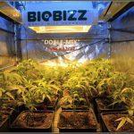 3- 1º día de floración del cultivo de marihuana con dos suelos