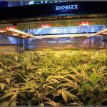 5- 24-12-2013 12 días a 12/12, las plantas ya han formado su estructura