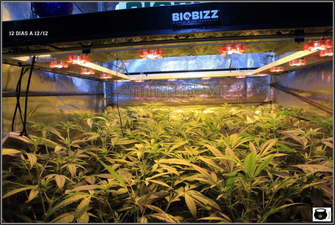 5- 24-12-2013 12 días a 12/12, las plantas ya han formado su estructura 1