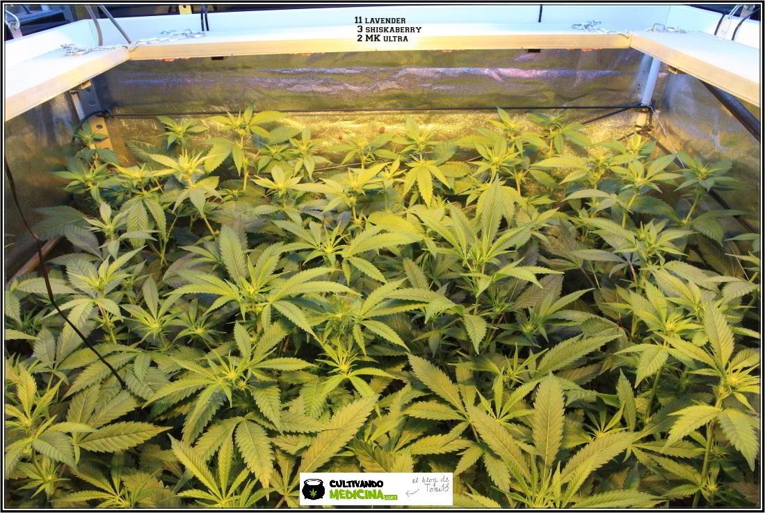 5- 24-12-2013 12 días a 12/12, las plantas ya han formado su estructura 2