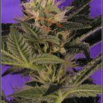 12- 15-1-2014 Variedad de marihuana Lavender, 34 días a 12/12 1º en luz estudio