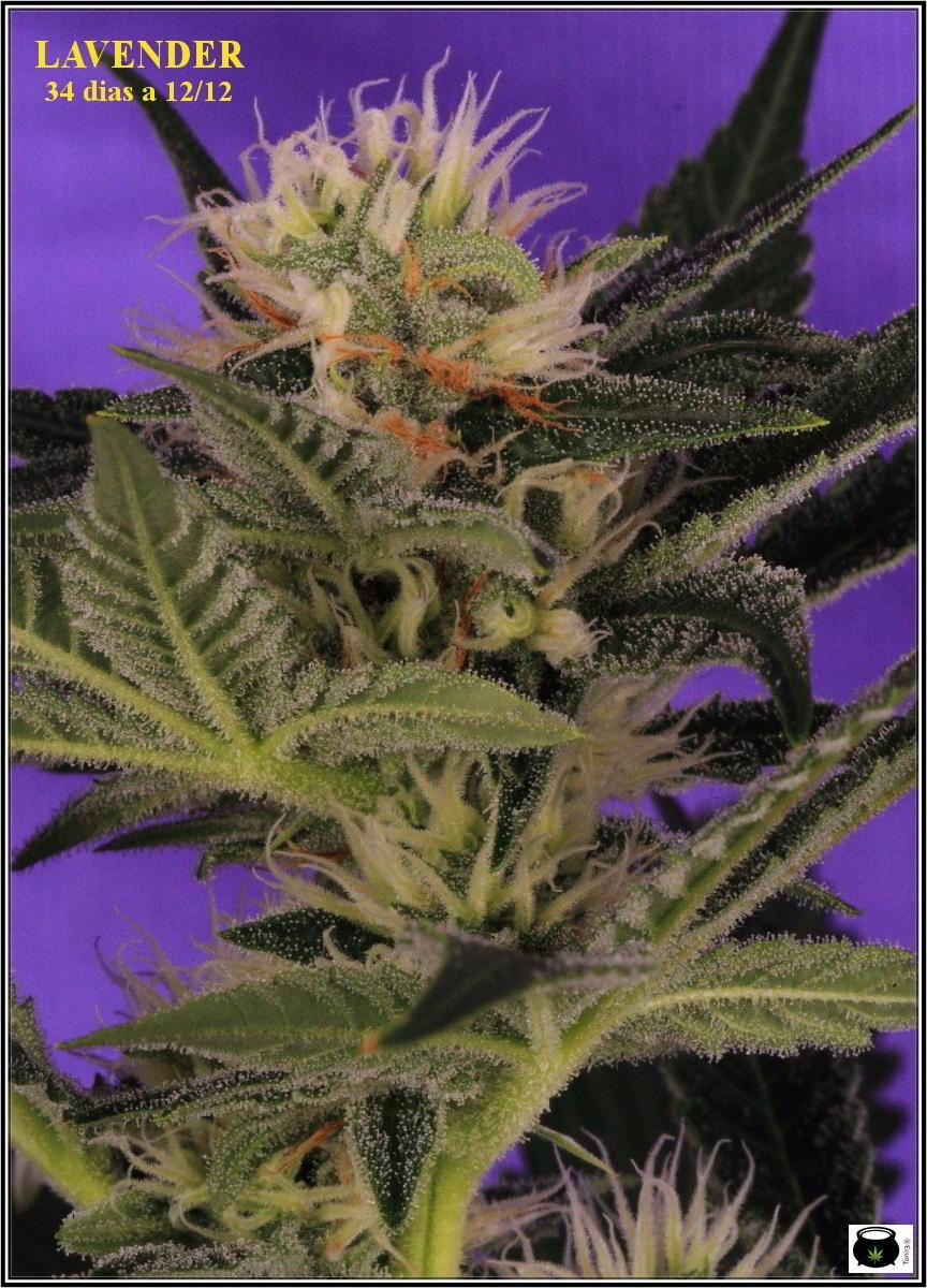 12- 15-1-2014 Variedad de marihuana Lavender, 34 días a 12/12 1º en luz estudio 1