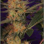 18- 28-1-2014 Variedad de marihuana Lavender, 46 días a 12/12