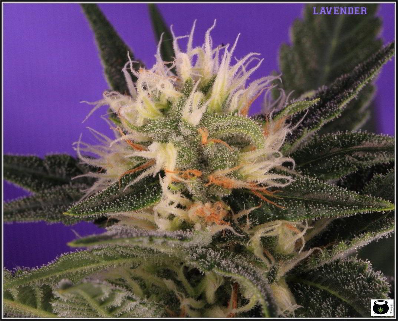 12- 15-1-2014 Variedad de marihuana Lavender, 34 días a 12/12 1º en luz estudio 3