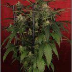 14- 23-1-2014 Actualización Variedad de marihuana Shiskaberry, 42 días a 12/12