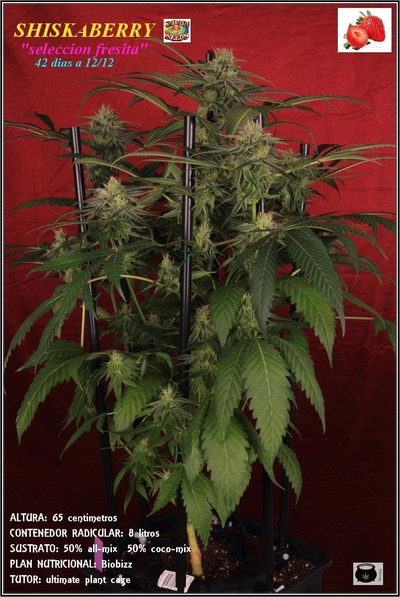 Variedad de marihuana Shiskaberry, 42 días 1