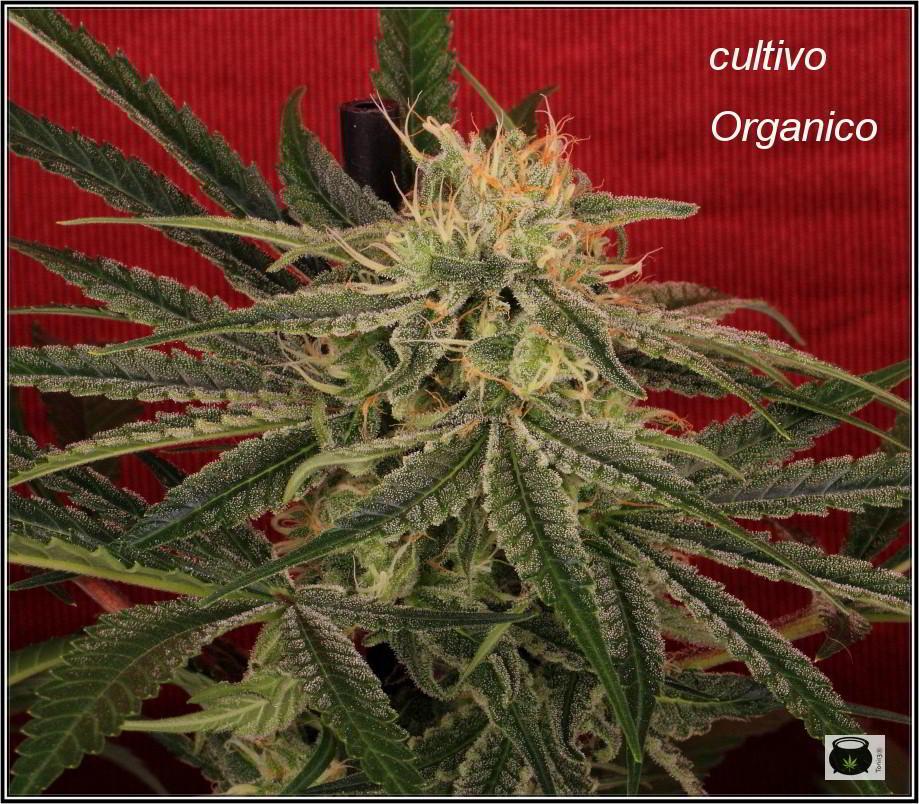 Variedad de marihuana Shiskaberry, 42 días 3