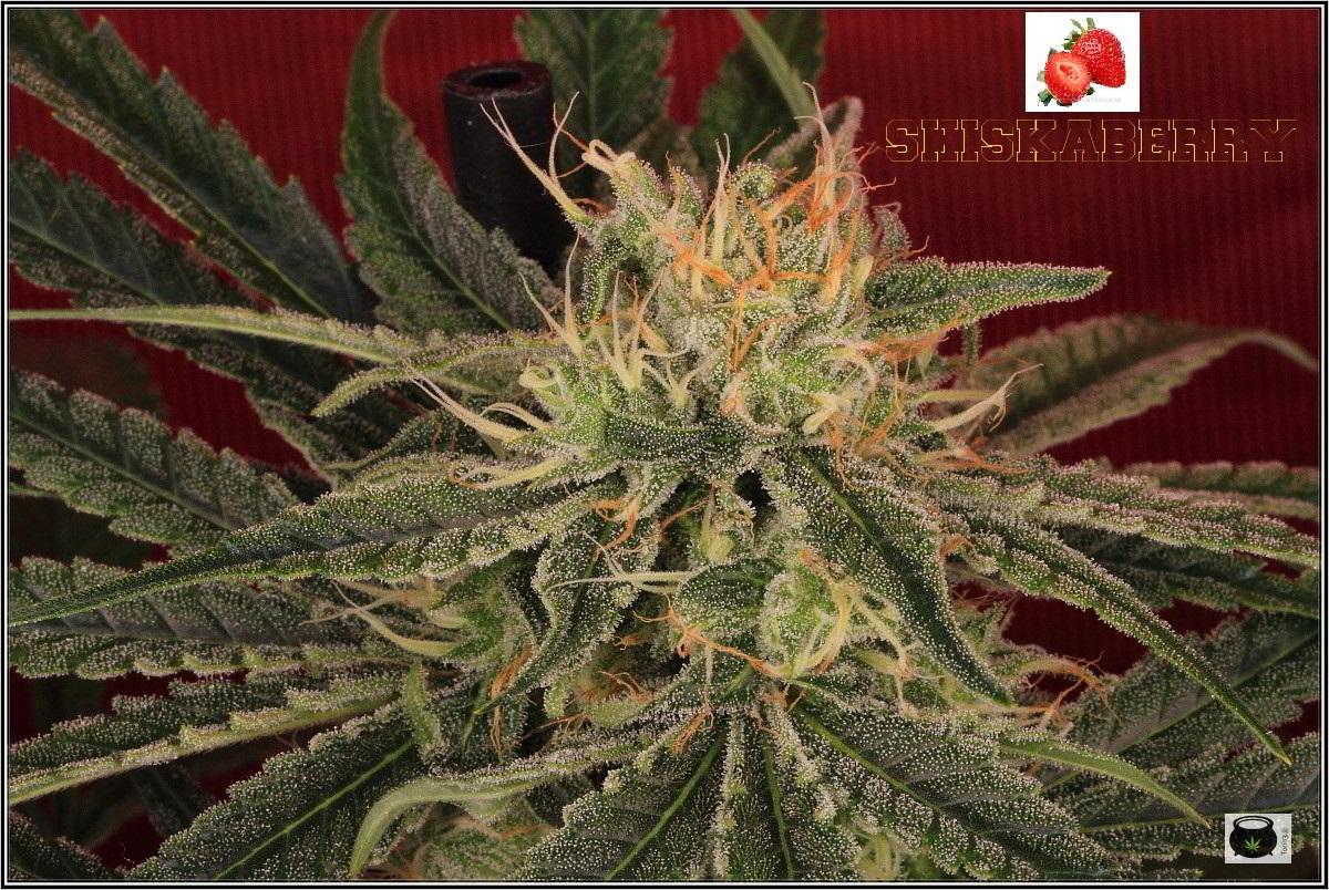 Variedad de marihuana Shiskaberry, 42 días 4