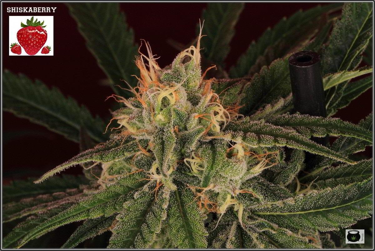 Variedad de marihuana Shiskaberry, 42 días 5