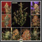 8- 3-1-2014 Variedad de marihuana Lavender 21 días a 12/12