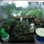 Exceso de riego en cultivos de marihuana – Síntomas y consideraciones