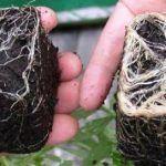 Hongos Micorrizas – Para qué sirven en cultivos de marihuana, beneficios
