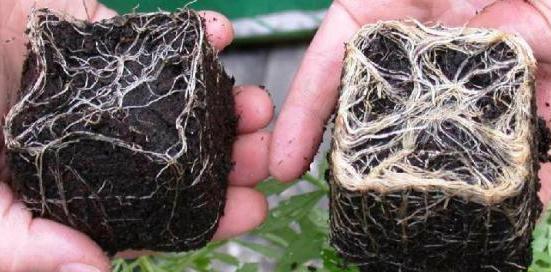 Macetas de marihuana con y sin hongos micorrizas