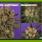 Nuevo álbum cannábico ilustrado: Organicoco