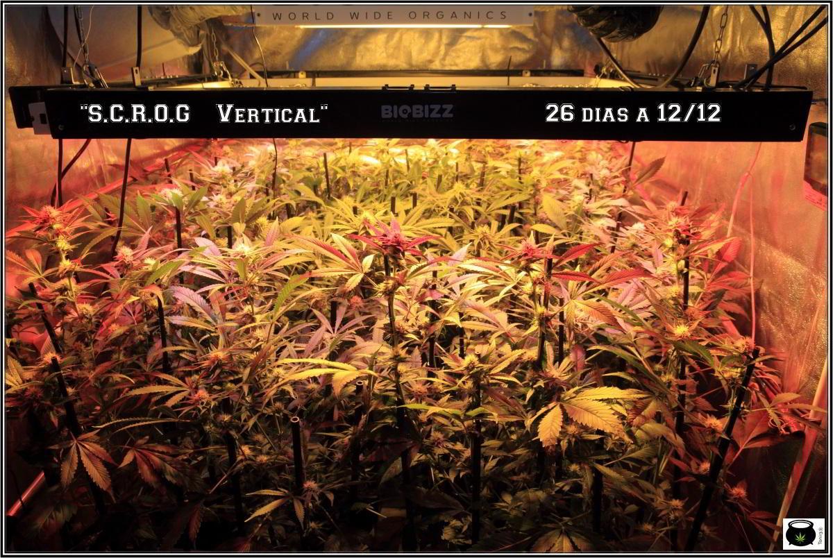 SCROG vertical cultivo de marihuana en armario de interior