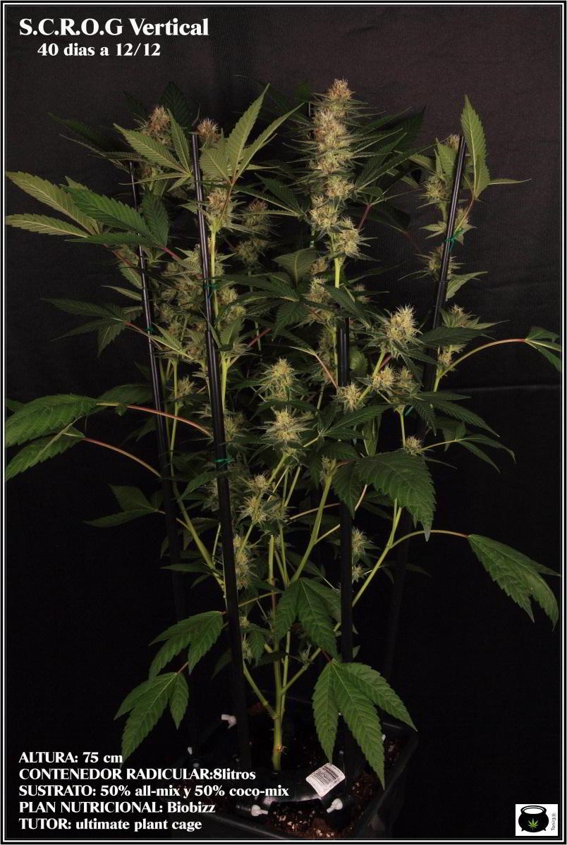SCROG vertical cultivo de marihuana 1