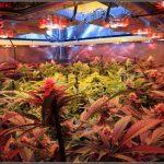 15- 24-1-2014 Vista general del cultivo de marihuana, 43 días a 12/12