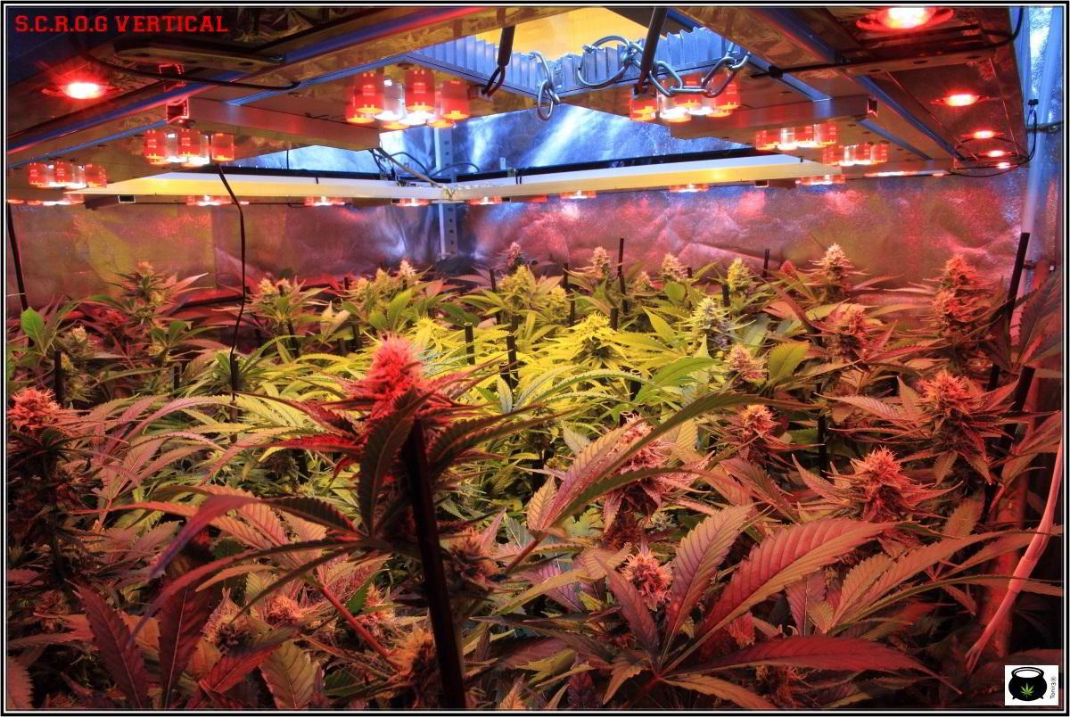 24-1-2014 Vista general del cultivo de marihuana, 43 días a 12/12 2