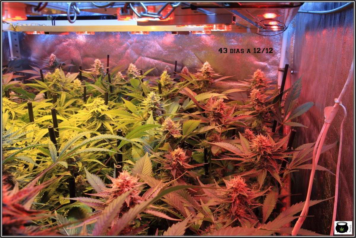 24-1-2014 Vista general del cultivo de marihuana, 43 días a 12/12 3