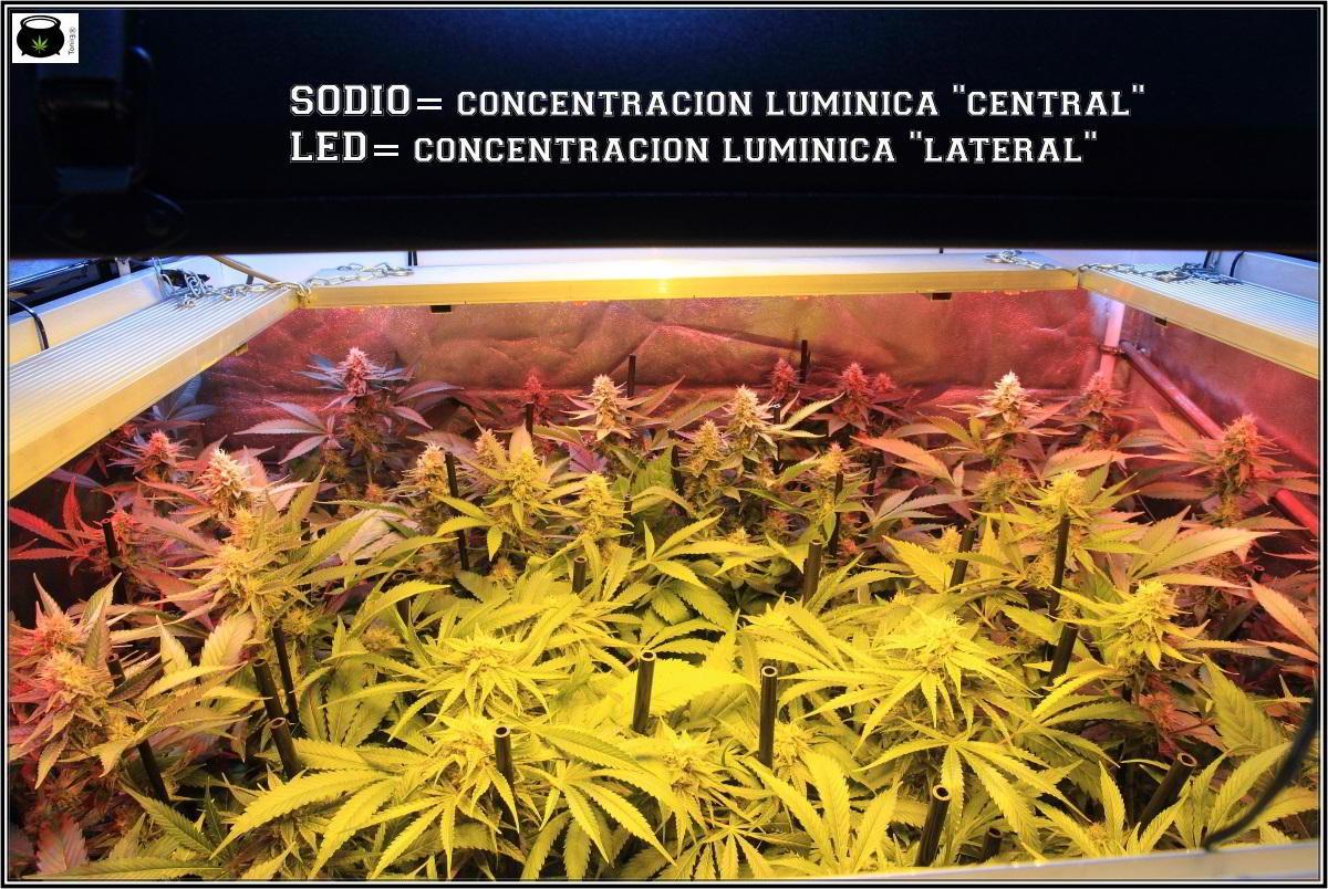 24-1-2014 Vista general del cultivo de marihuana, 43 días a 12/12 4