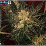 17- 26-1-2014 Ahora le toca a ella, Variedad de marihuana MK ultra 45 días a 12/12.