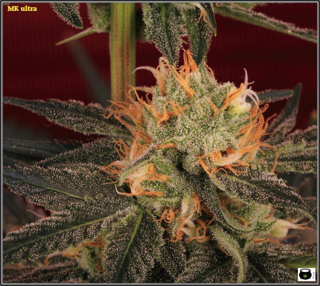 Variedad de marihuana MK ultra 2